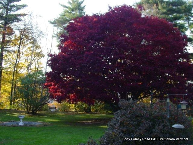 maple_tree_in_fall_008