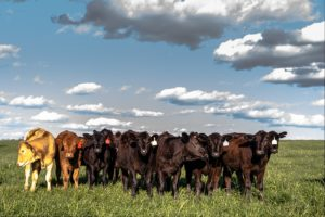 heifers standing in a lush green farm pasture